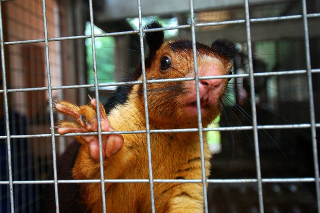 Life expectancy of Indian giant squirrels