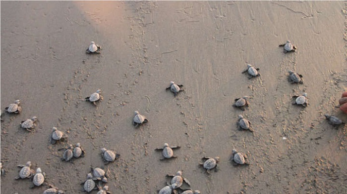 Turtles return to a beach in India