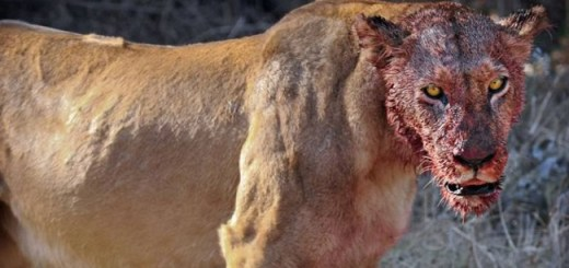 Lions Eat Three Poachers Alive Who Broke Into African Reserve to Hunt Rhinos