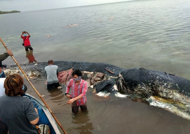 Not the first whale to have succumbed to plastic poison