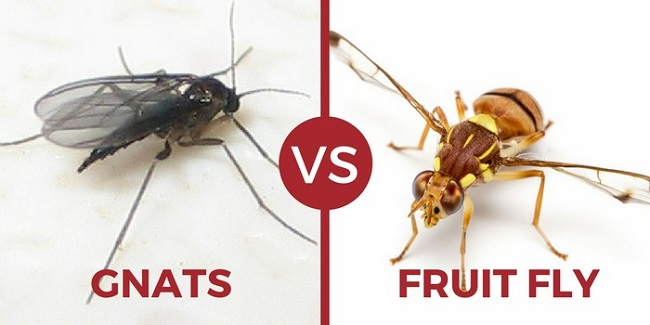 Fruit flies vs. gnats: What's the difference?