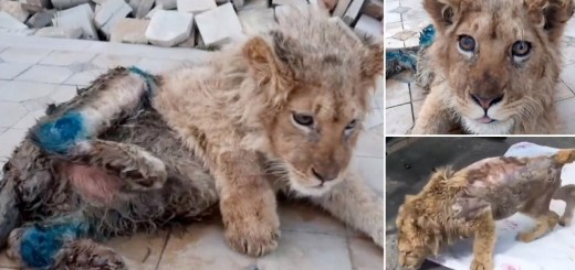 Rescued Lion Cub with Broken Hind Legs So Tourists Could Take Selfies Makes Miracle Recovery. Look at Simba Today