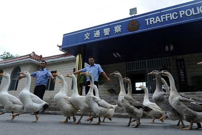 Police dogs replaced with geese
