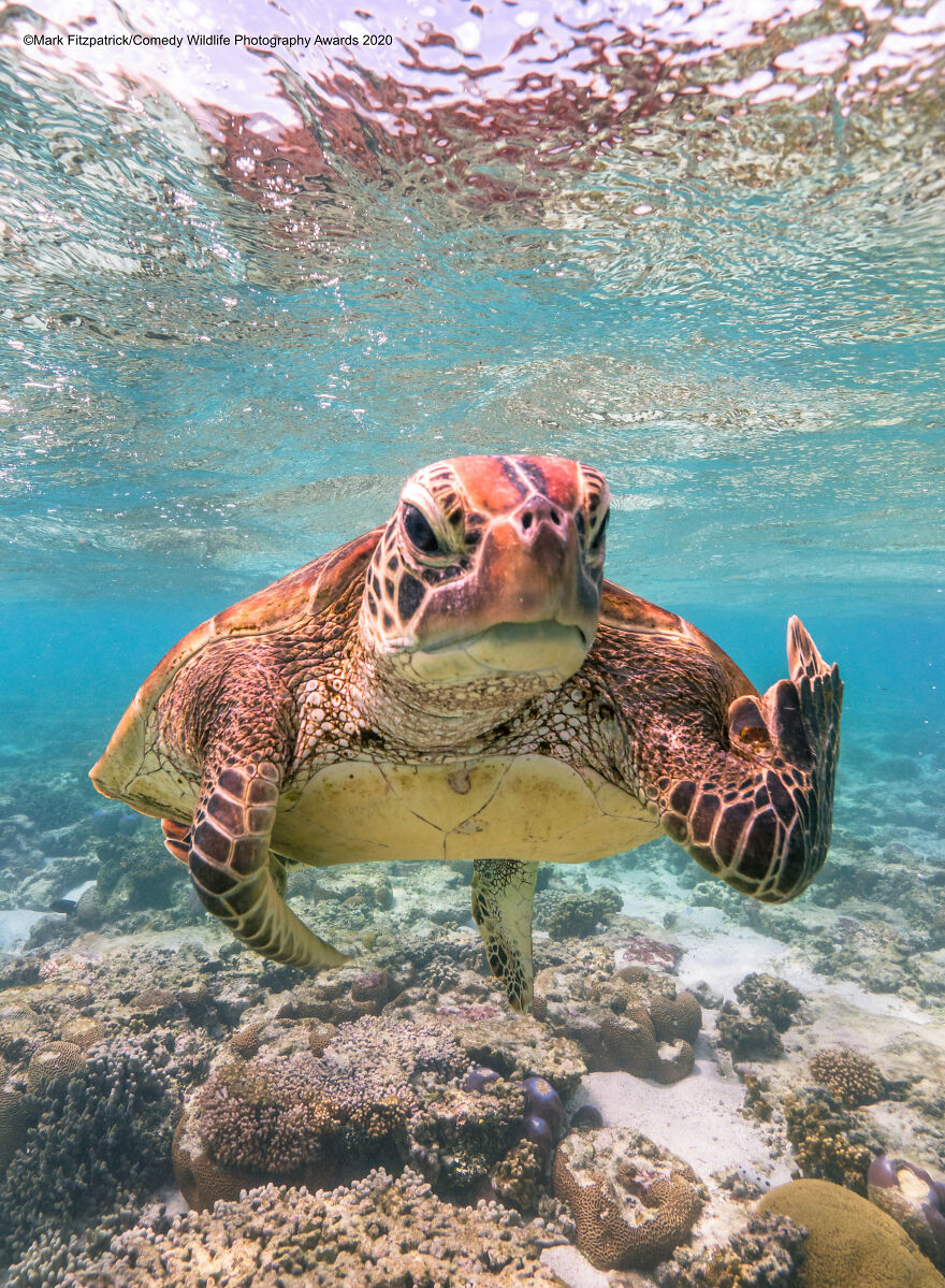 "Overall Winner and Creatures Under the Water Award Winner: ""Terry the Turtle Flipping the Bird"" By Mark Fitzpatrick"