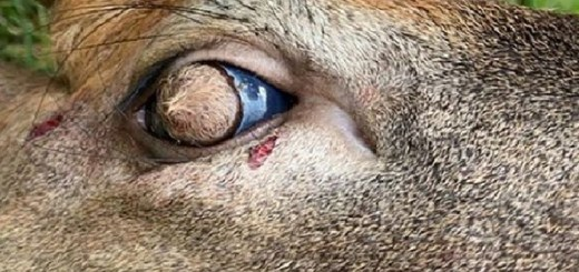 Whitetail Deer Found in Tennessee with Thick Hair Growing on its Eyeballs