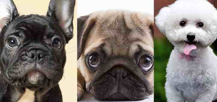 Top 10 Smallest Dog Breeds in the World 2021 Updated
