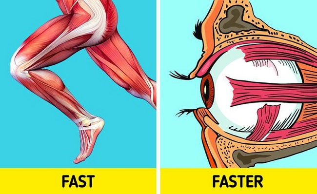 The fastest muscles of the body are in the eyes