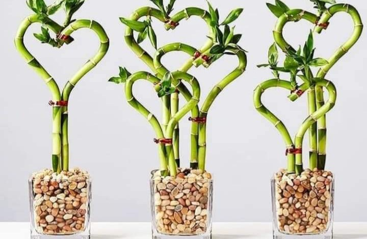 نبتة البامبو