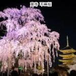 京都 東寺 夜桜ライトアップ不二桜