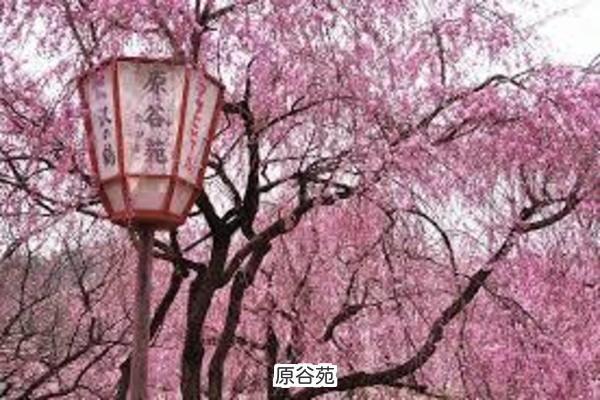 京都 隠れた桜の名所 原谷苑