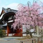 春の花見と特別拝観 妙顕寺