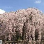 京都 祇園のしだれ桜