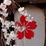 「平野の夜桜」で美味しいお酒を・・