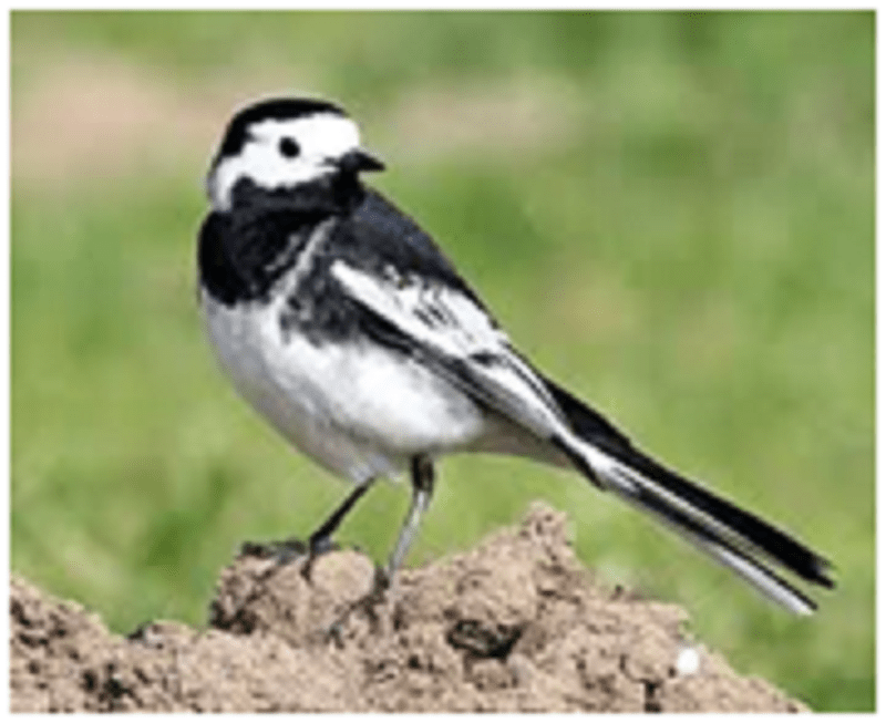 Welsh Wagtails