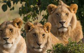 Løvens Hule Bidandbuy Trendsonline