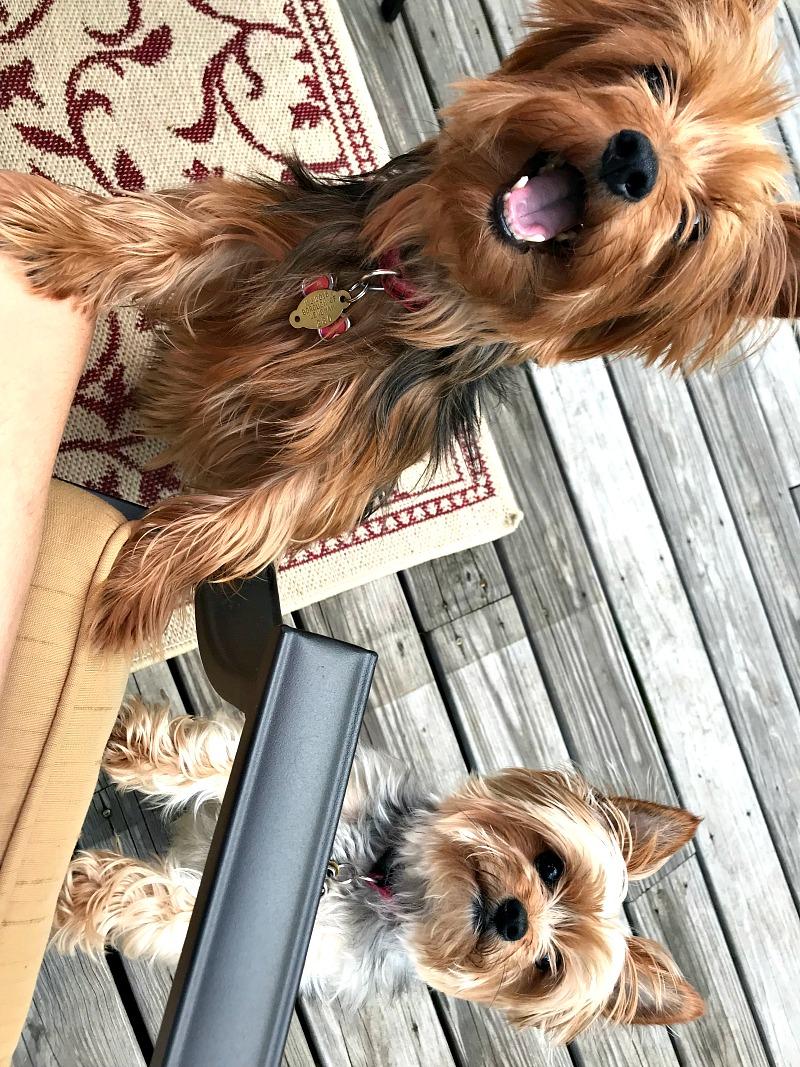 Dogs in the backyard