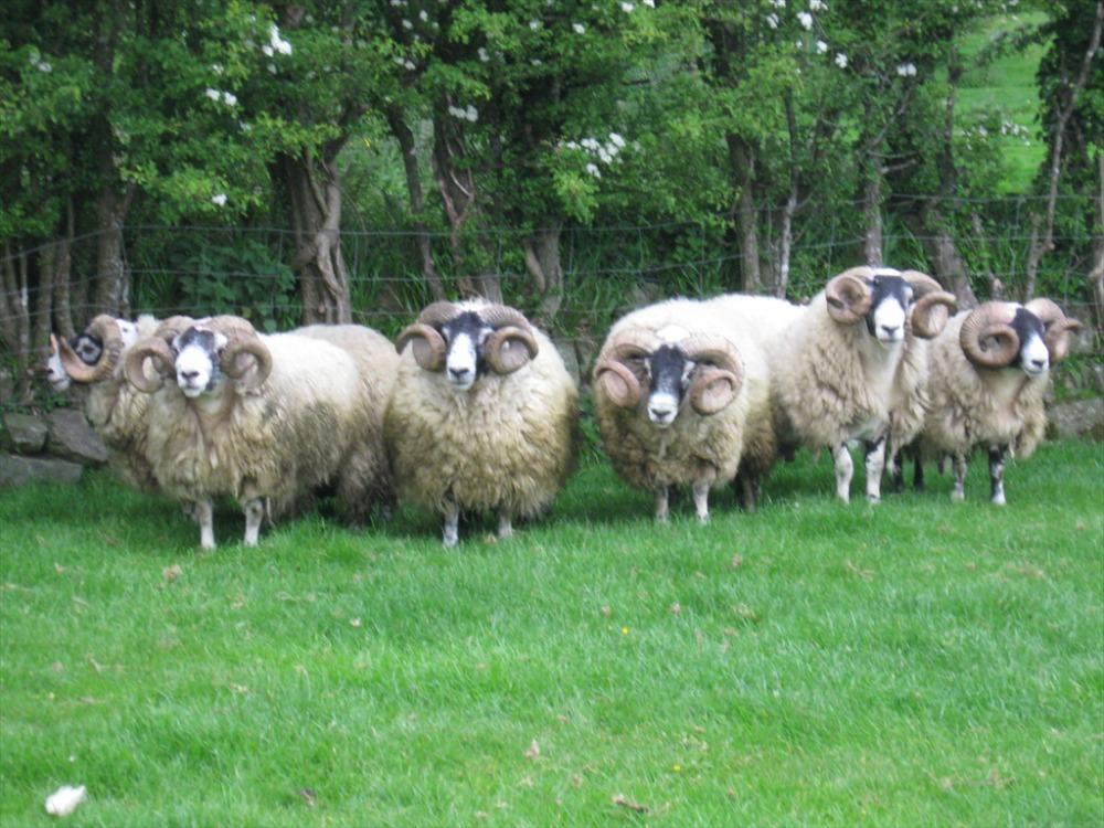 Trenearla Blackface Scottish Blackface Sheep Media Page 1