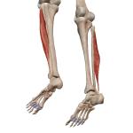 Длинная малоберцовая мышца