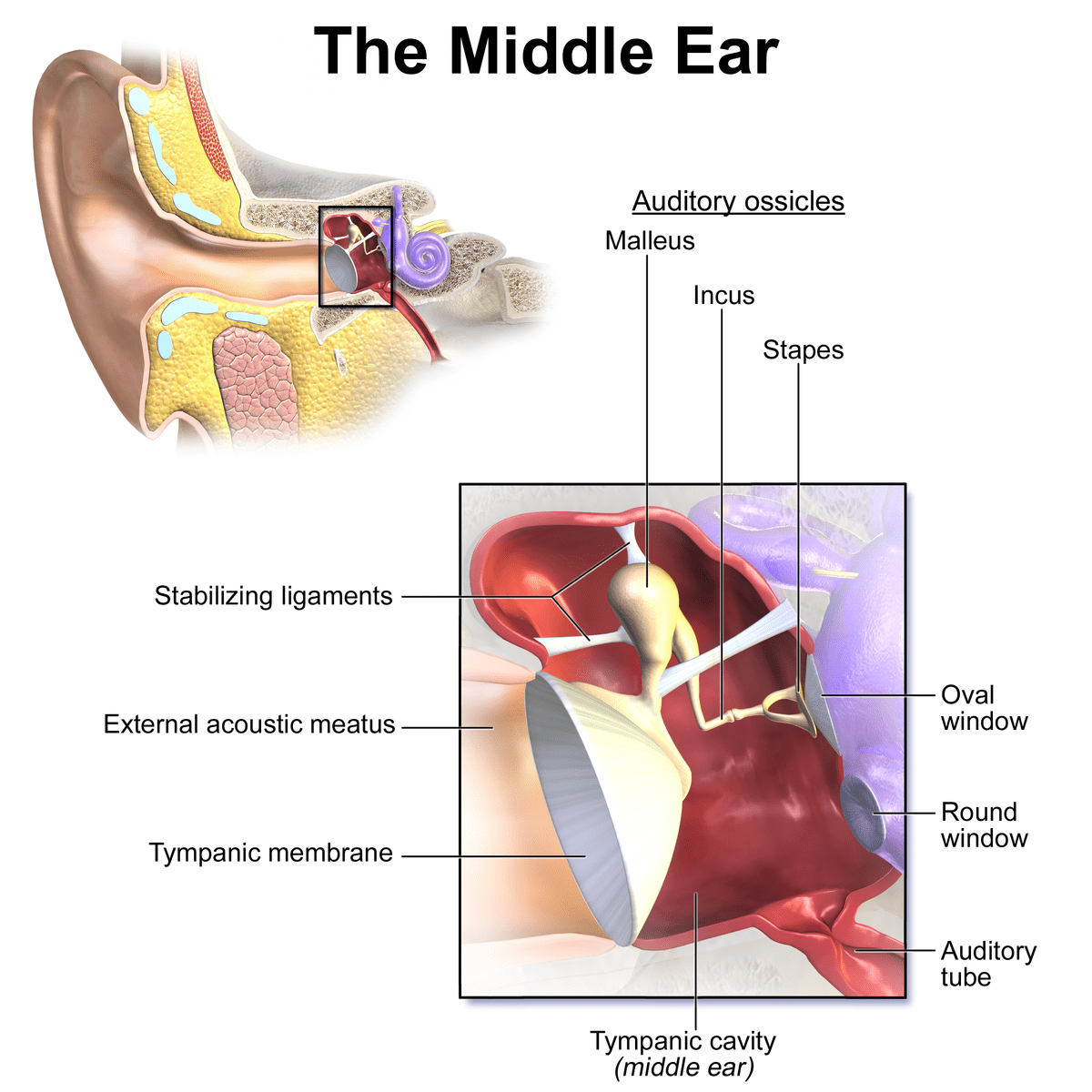 hight resolution of the inner ear consists of the cochlea the vestibular labyrinth and the vestibulocochlear nerve