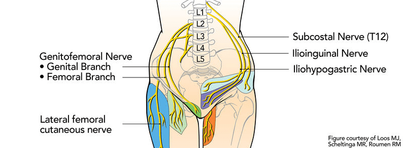 lumbar nerve root diagram big three wiring how to identify and treat plexus compression syndrome lpcs genitofemoral originates from the l1 l2 roots it passes though psoas major innervates skin around femoral triangle groin
