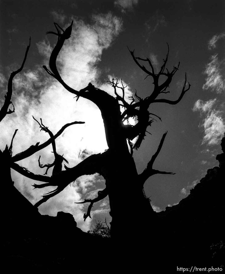 Gnarly tree in Arches National Park. p