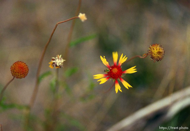 Flower on a Native American river trip through Lodore Canyon and Dinosaur National Monument.