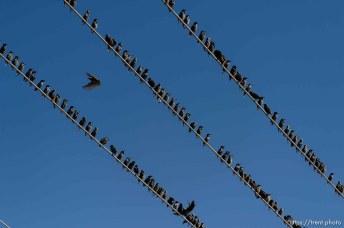 Trent Nelson   The Salt Lake Tribune Starlings in flight near Magna, Friday November 7, 2014.