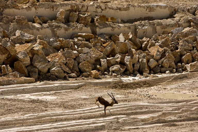Blackbuck and Limestone – YFZ