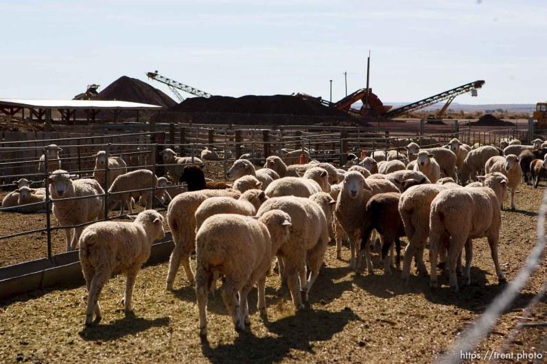 Colorado City - Sheep on farm, Friday October 24, 2008.