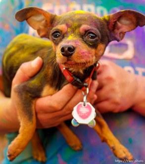 Holi Festival. Sunday, March 25, 2012 in Spanish Fork, Utah. dog