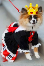 Trent Nelson | The Salt Lake Tribune The Queen of Hearts, Dolly, at a pet costume contest hosted by radio station Mix 107.9 in Salt Lake City Thursday October 24, 2013.