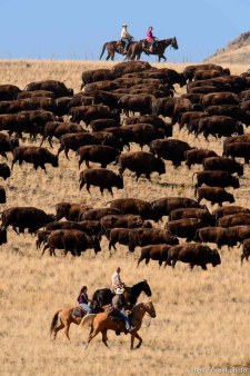 Trent Nelson | The Salt Lake Tribune Riders drive bison during the annual bison roundup at Antelope Island State Park, Friday October 24, 2014.