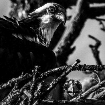 osprey, Saturday July 22, 2017.