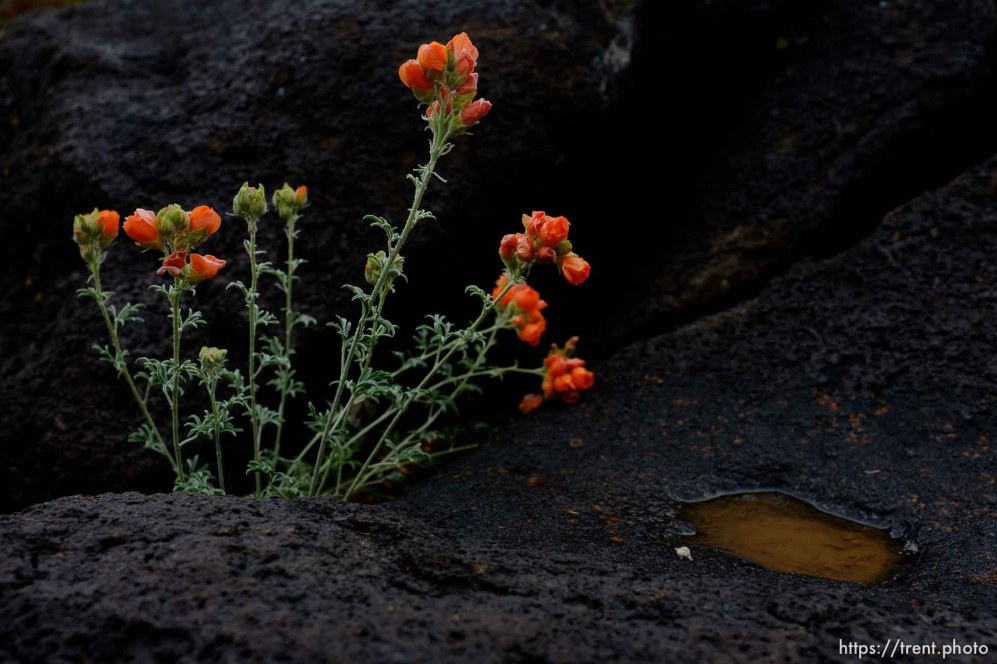 (Trent Nelson | The Salt Lake Tribune) flowers at Capitol Reef National Park on Friday May 10, 2019.