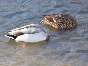 Mallard Ducks 2s