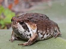 rain-frogs3