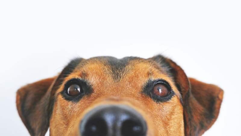 Aiutare il cane a gestire le emozioni. Sos Pet Cookies Dog, i biscotti attivati ai Fiori di Bach.