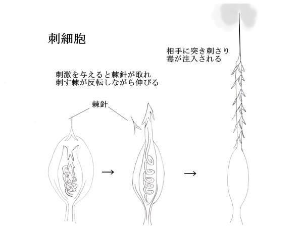 クラゲの刺細胞