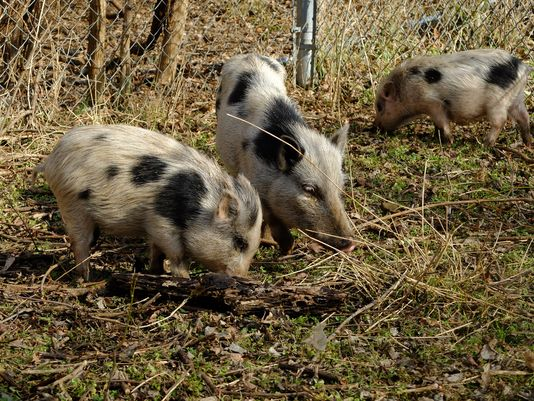 Urban farm loses four pigs, ramps up security measures