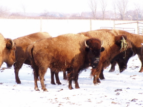 via Wisconsin Bison Co.