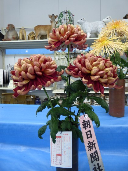 I found my new favourite chrysanthemum in the cut flower display