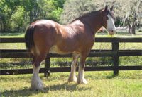 Buddy the Clydesdale