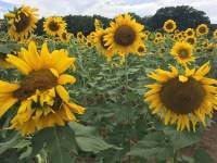 Sunflowers in field. Destination SunFest at Dix Park