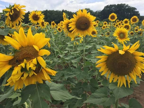 Large sunflowers in Dix Park in Raleigh