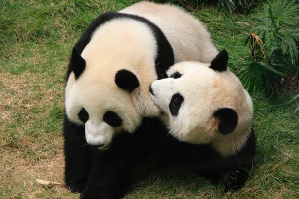 giant pandas animal webcams