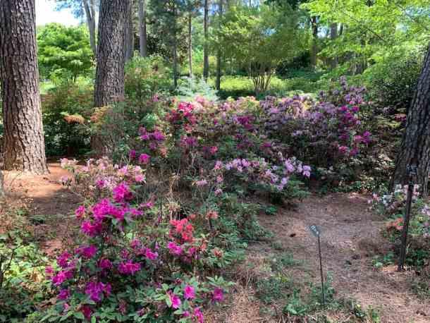 Azaleas blooming in WRAL Azalea Gardens