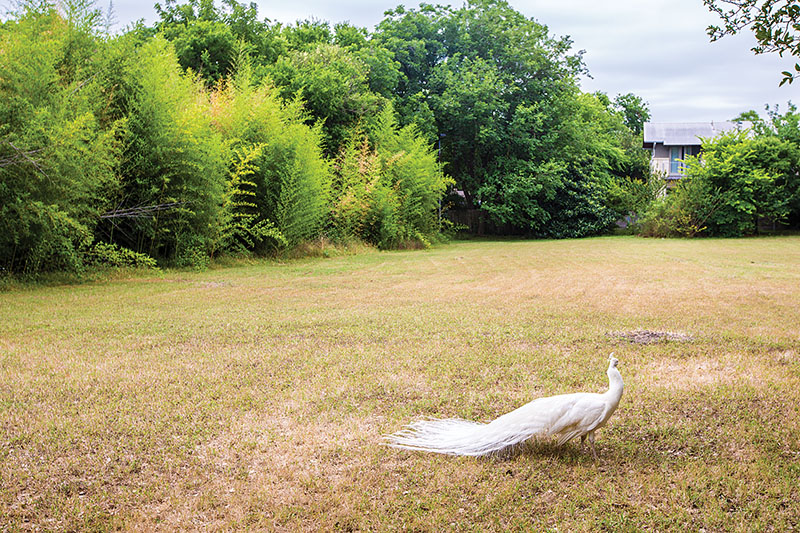 mattie's green pastures tribeza austin