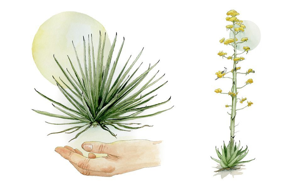HRT-illustrations-mezcal