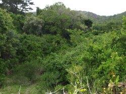 Vegetació Coastal forest