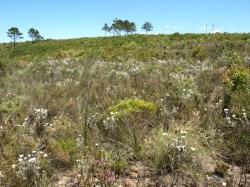 Vegetació transitòria Renosterveld-Fynbos